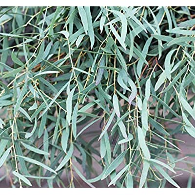Cheap Fresh Tree Seeds Eucalyptus Nicholii Unique Get 10 Seeds Easy Grow #GRG01YN : Garden & Outdoor