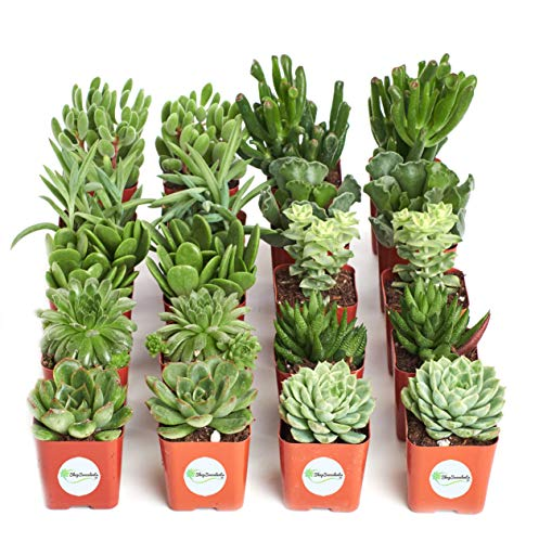 Shop Succulents Green Succulent (Collection of 20) by Shop Succulents (Image #3)