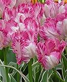 5 Bulb - Silver Parrot Tulip - Big Blooms Excellent for Bouquets -12/+cm