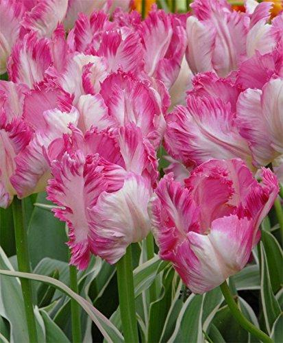 5 Bulb - Silver Parrot Tulip - Big Blooms Excellent for Bouquets -12/+cm by zry-melatw
