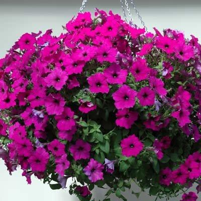 Petunia Easy Wave Violet Pelleted Flower Seed 100 (Easy Wave)