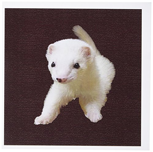 3dRose Baby Albino Ferret - Greeting Cards, 6 x 6 inches, set of 12 (gc_17290_2)