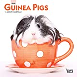 Guinea Pigs 2020 7 x 7 Inch Monthly Mini Wall Calendar, Domestic Animals Small Pets