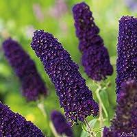 Schmetterlingsflieder in vielen Formen und Farben