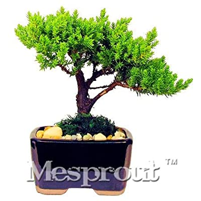 50 PCS Mini Juniper Bonsai Tree Potted Flowers Office Bonsai Purify The Air Absorb Harmful Gases Juniper Plant - (Color: 2): Garden & Outdoor