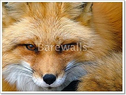 Red Fox Portrait Paper Print Wall Art 24in X 32in