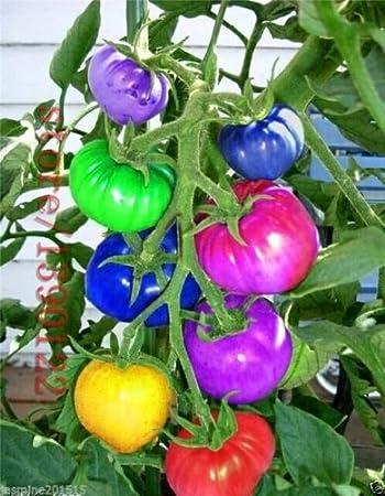 CATTERPILLAR FARM® Dwarf Rainbow Tomato 30 Seeds- High Productivity vegetable Seeds