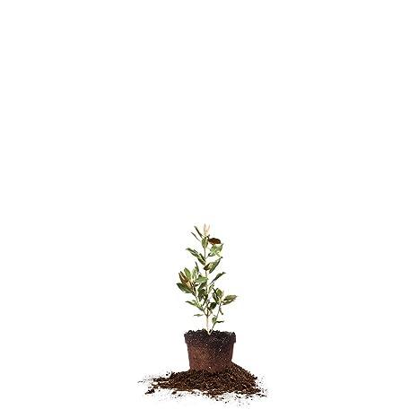 Amazoncom Perfect Plants Little Gem Magnolia Live Plant 1 2