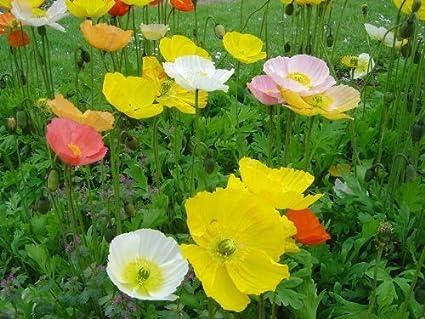 Amazon 2500 mixed colors iceland poppy papaver nudicaule 2500 mixed colors iceland poppy papaver nudicaule flower seeds mightylinksfo