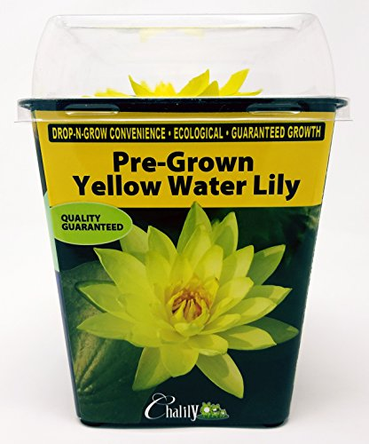 Live Aquatic Hardy Water Lily | Pre-Grown, Pre-Rooted, Hardy Water Lily for Your Pond or Patio Water Garden | Drop-N-Grow Convenience -Yellow (Nymphaea 'Yellow Sensation') by Chalily (Image #2)