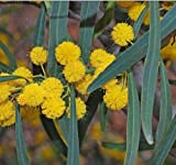 "Acacia Saligna"" Golden Wreath Wattle Tree - Blue Leaf Wattle (35 Seeds)""050"""