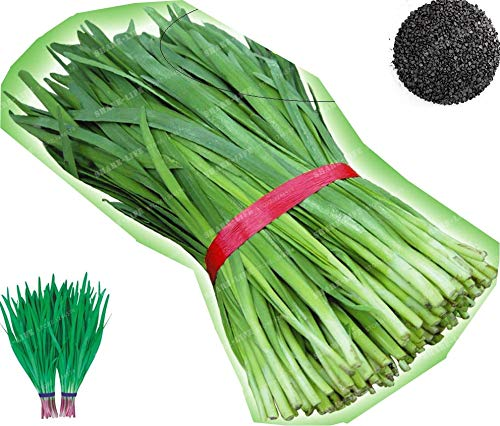 Chinese Chive Bonsai 100 (Allium Tuberosum Garlic Chive) Bonsai Heirloom Organic Vegetable Purple Garlic Leek Healthy Vegatable