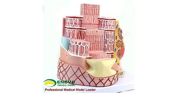 WHYTT La Fibra del músculo esquelético, Microestructura La ...