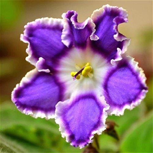 SwansGreen Purple Free Ship 20 Graines De Violet Seeds Beautiful Plant Bonsai Flower Seed Tropical Flowers Seeds Perennial Herb Matthiola Incana