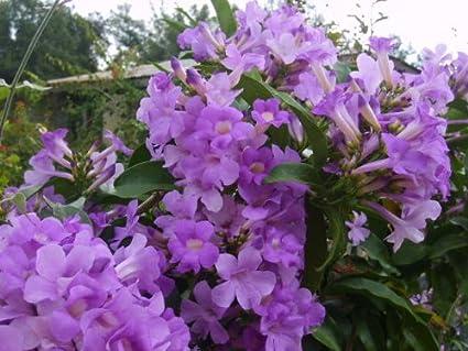 Amazon garlic vine semi tropical live plant cydista garlic vine semi tropical live plant cydista aequinoctialis vivid purple trumpet shaped flowers spring and mightylinksfo