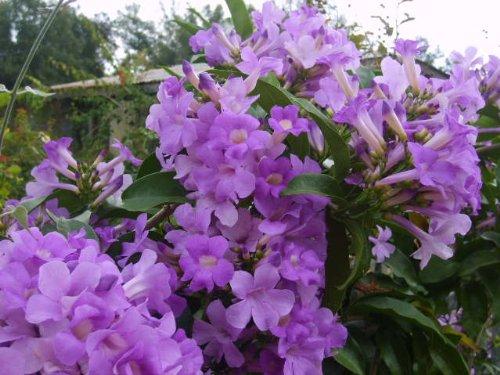 (GARLIC VINE Semi-Tropical Live Plant Cydista Aequinoctialis Vivid Purple Trumpet Shaped Flowers Spring and Fall 4 Inch Pot Emeralds TM)