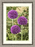 Framed Art Print 'Onion ambassador variety flowers' by Visionspictures