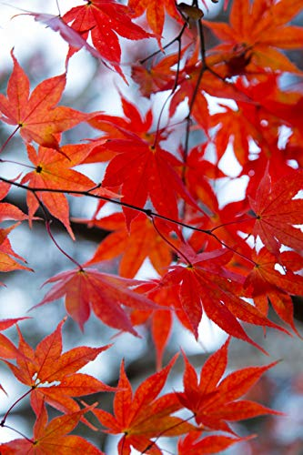 (Sunset Red Maple Tree 2 Year Old 4-5 Ft Tall)