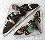 REAL RARE 2 CICADA RARE INSECT TAXIDERMY INSECT DRY