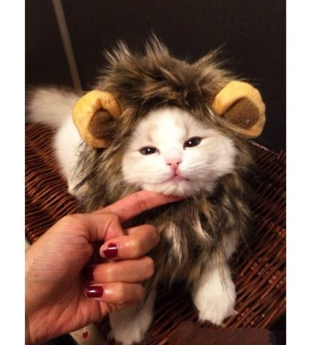 [econoLED Pet Costume Lion Mane Wig for Dog Cat Halloween Dress up with Ears( parti-colour) US] (Video Of Dog In Costume)
