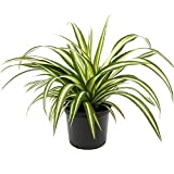 AMERICAN PLANT EXCHANGE Spider Plant Easy Care Live, 1 Gallon