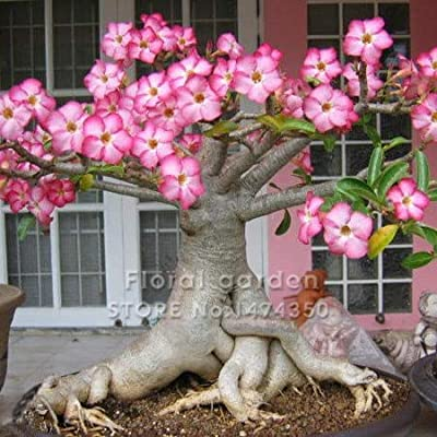 Seed - NOT Plant - Best Quality - Bonsai - True Desert Rose Bonsai Ornamental Plants Balcony Bonsai Potted Flowers Drawf Adenium Obesum Bonsai -1 Particles/lot - by SeedWorld - 1 PCs: Garden & Outdoor