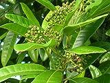 Pimenta dioica, Allspice - 3 Gallon Live Plant - 4 pack