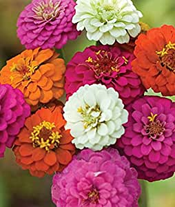 5 Pound Seeds of Zinnia Cut and Come Again Mix