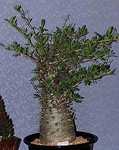 Exotic Plants Fouquieria columnaris - Boojum tree - cirio - 5 seeds