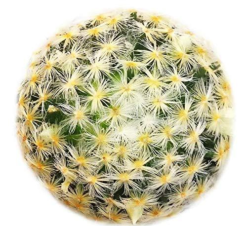 Succulent Mammillaria Carmenae Isla Carmen Pincushion Cactus Get 1 Plant #SB01YN (3