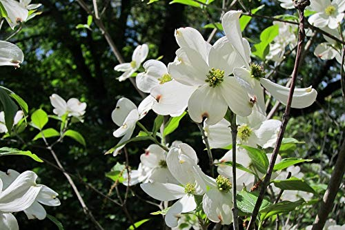 Home Comforts Peel-n-Stick Poster of Dogwood White Flower Tree Vivid Imagery Poster 24 x 16 Adhesive Sticker Poster Print