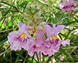 Desert Willow, Chilopsis Linearis, Tree/shrub 30 Seeds (Showy Flowers)