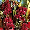 Sweet Pea, Pearl Red Lathyrus latifolius ~30 Seeds~ Perennial Sweet Pea,
