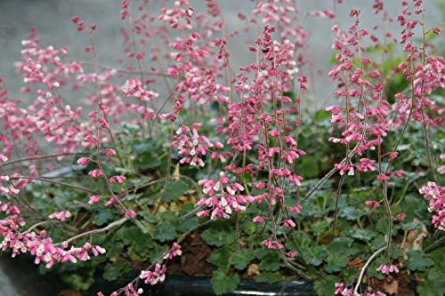 - Canyon Duet Coral Bells - Heuchera Canyon Duet Perennial Live Plant Fit 1Gal Pot Shrubs Garden tokokh