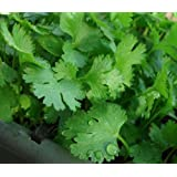 200+ Cilantro Seeds- Chinese Parsley- Coriander- Herb 2017 Seeds