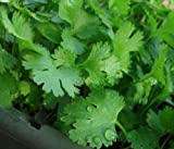 200+Cilantro Seeds- Chinese Parsley- Coriander- Herb 2019 Seeds by Ohio Heirloom Seeds