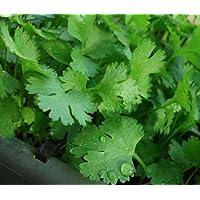 200+ Cilantro Seeds- Chinese Parsley- Coriander- Herb 2017 Seeds
