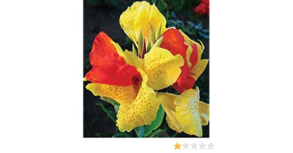 Red Futurity Flowering Dwarf Canna Lily Root//Bulb//Rhizome//Plant Nice Size