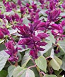 50 Salvia Seeds Vista Purple Flower Seeds Garden Starts Nursery