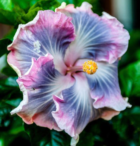 Exotic Tropical Plant - 10 Blue Purple Hibiscus Seeds Hardy Perennial Flower Tropical Exotic Seed Bloom