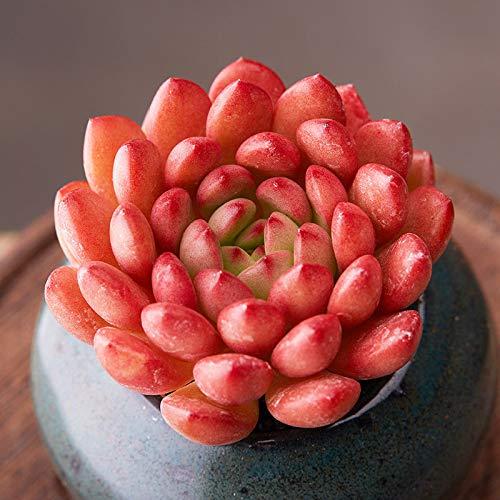 Sedeveria Pink Ruby 4cm - Home Garden Rare Plant -Beautiful Succulent Live Plant