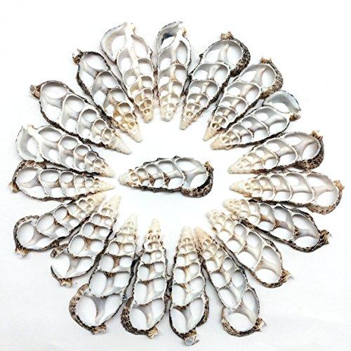 PEPPERLONELY 20 PC Center Cut Cerithium Aloco Sea Shells, 2~2-1/2 Inch -