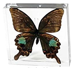 Ed Speldy East Company BF20 Real Bug Commander Wingspan Butterfly Paperweight, Clear