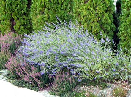 quart-blue-mist-spireablooms-with-a-profussion-of-dark-blue-flowers-in-late-summer