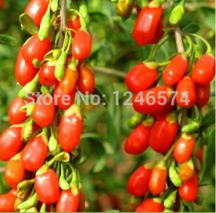 Amazon Com 200pcs Goji Berry Seeds Chinese Ning Xia Goji Berries