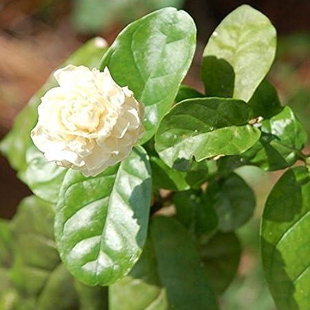 WuWxiuzhzhuo Big Promotion 100Pcs Fleur de Jasmin Graines Parfumée Home Garden Plante de Graines de Fête de Mariage Décor