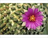 Photographic Print of Flowering hatchet cactus, with flattened spine clusters. Pelecyphora