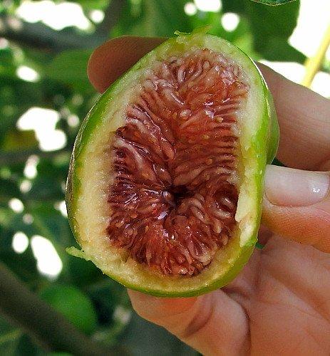 Desert King Edible Fig Plant - Ficus carica - Sweet - 4
