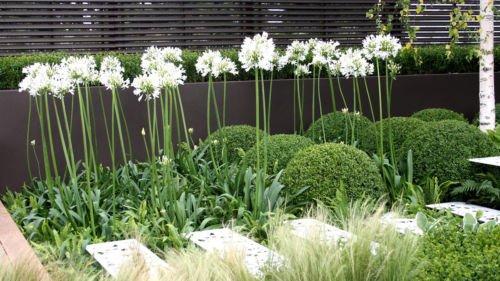 20+ AGAPANTHUS WHITE FLOWER SEEDS / LILY OF THE NILE / PERENNIAL DEER ()