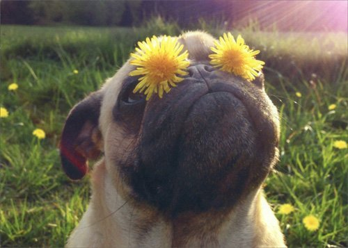 Pug With Dandelion Eyes - Avanti Funny Dog Birthday Card